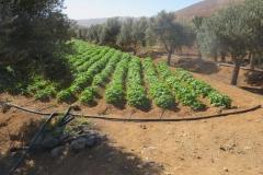 Kartoffelanbau in Betancuria