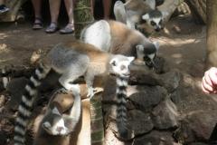 Bei den Lemuren