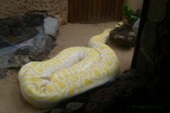 Ein Albino-Python