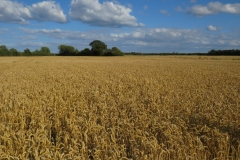 Weizenfelder umgeben den Ort