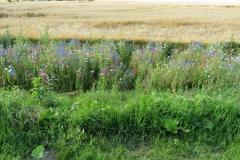 Blütenpracht am Feldrand