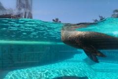 Ein Seelöwe